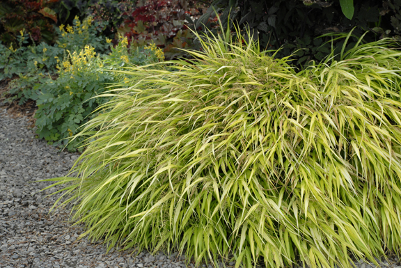 A photo of Hakonechloa macra 'All Gold'