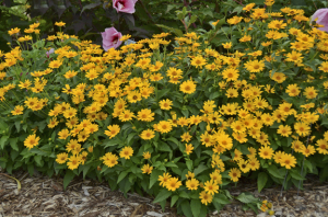 A photo of Heliopsis helianthoides 'Tuscan Sun'