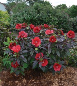 A photo of Hibiscus 'Midnight Marvel'