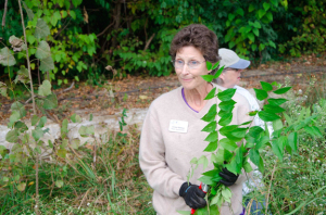 A photo of Cindy removing bush honeysuckle.