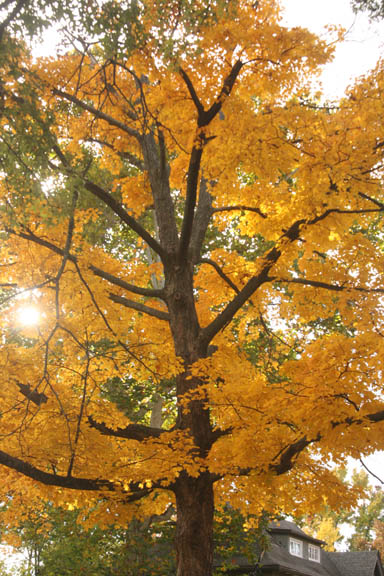 A photo of a sugar maple in yellow fall color