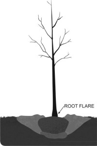An illustration of a tree-planting hole and identification of the root flare.