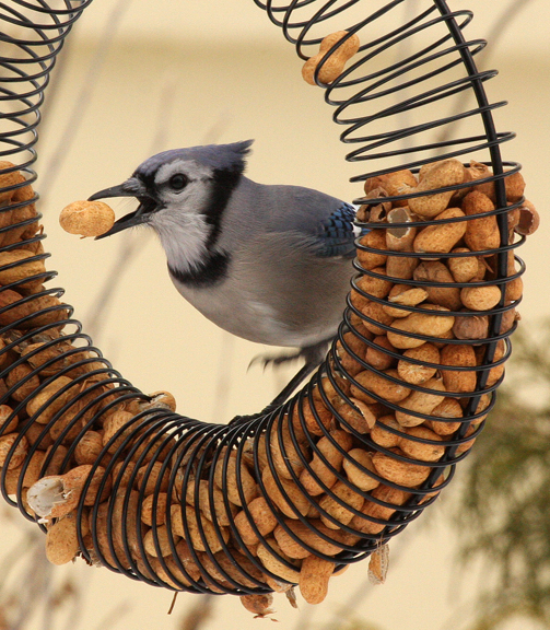 A picture of a bluejay at a peanut feeder.