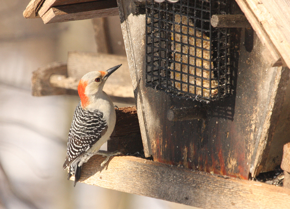 A picture of a red-bellied woodpecker at a suet feeder.