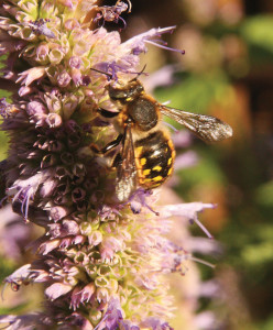 A picture of a bee mimic on hyssop