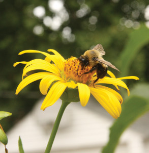 A picture of a bumblebee on a cup plant flower