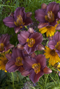 Daylily 'Purple D'Oro' Photo courtesy Walters Gardens
