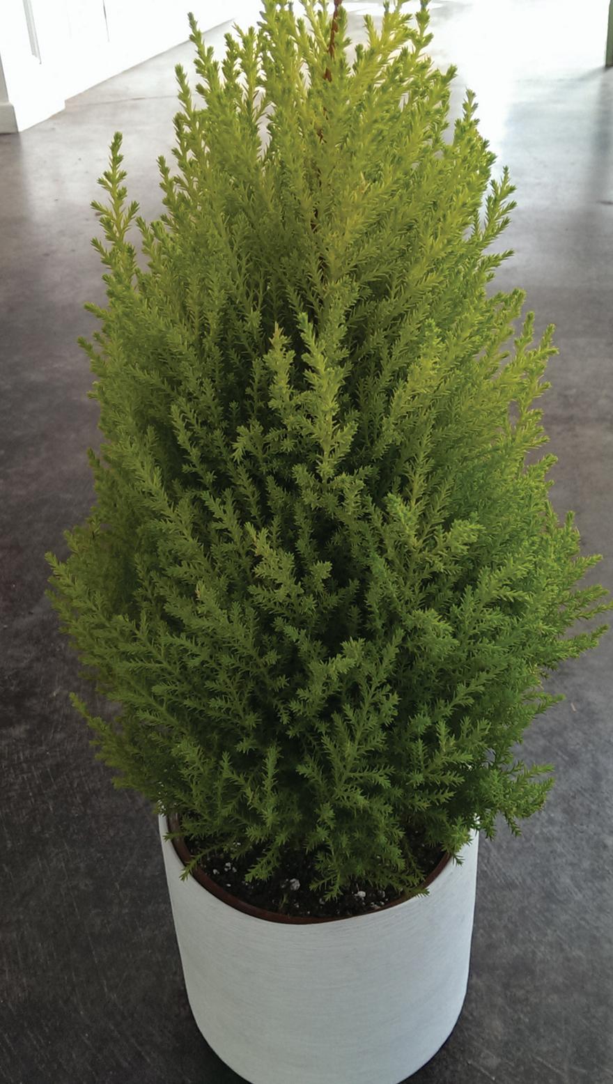 A photo of lemon cypress