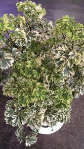 A photo of parsley aralia