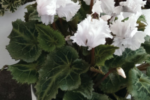 A photo of a cyclamen plant with white blooms