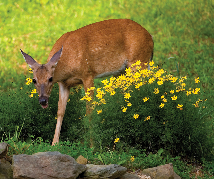 a photo of a deer in the garden