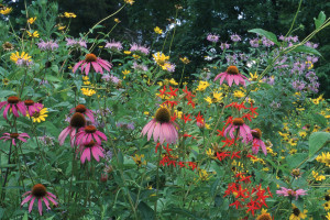 A photo of purple coneflower