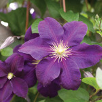 A photo of the Clematis 'Jackmanii'