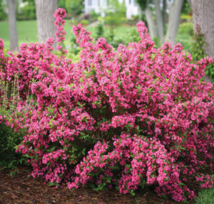 A photo of Sonic Bloom Weigela, photo courtesy Proven Winners.