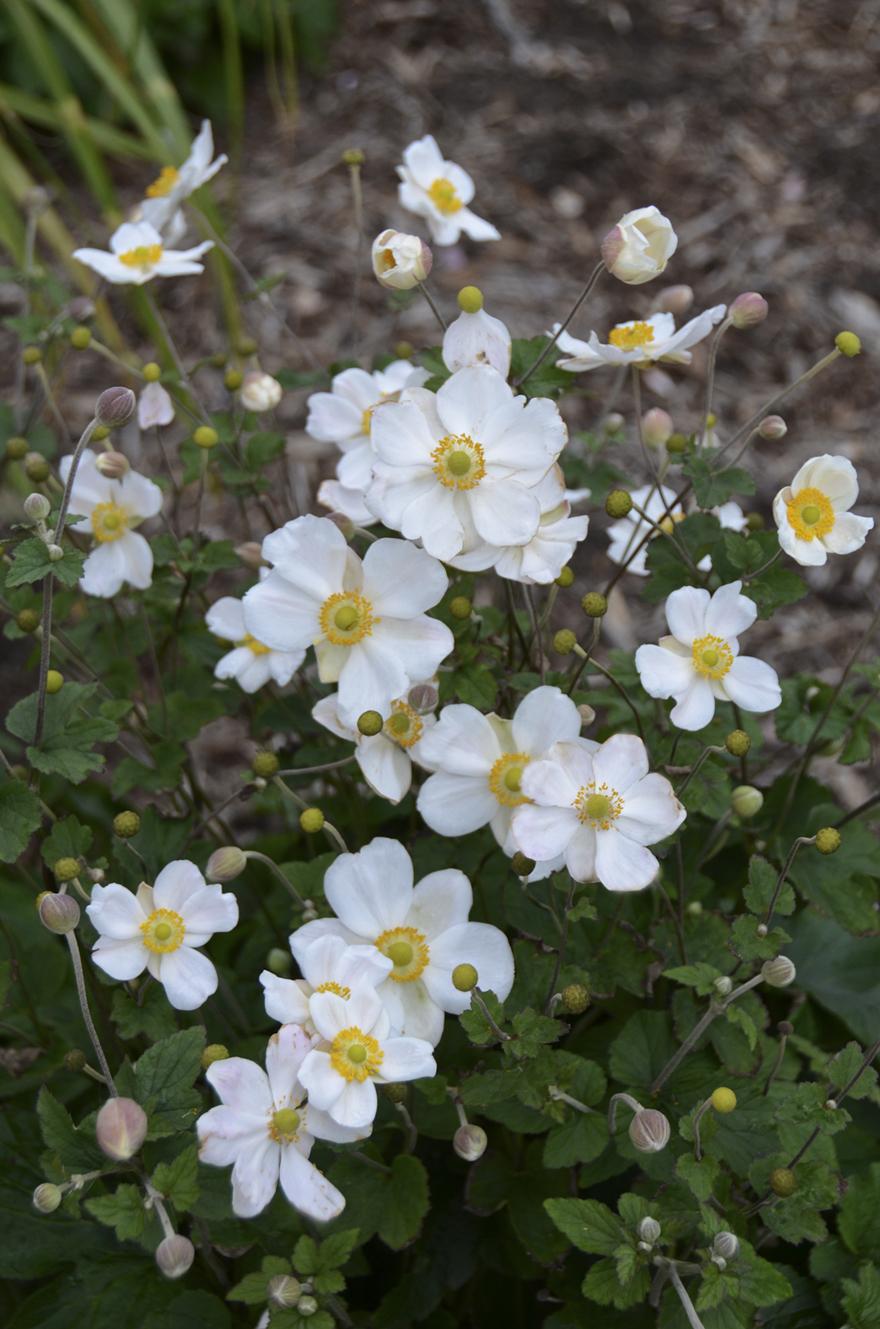 A photo of Anemone 'Honorine Jobert', photo courtesy Walter's Gardens