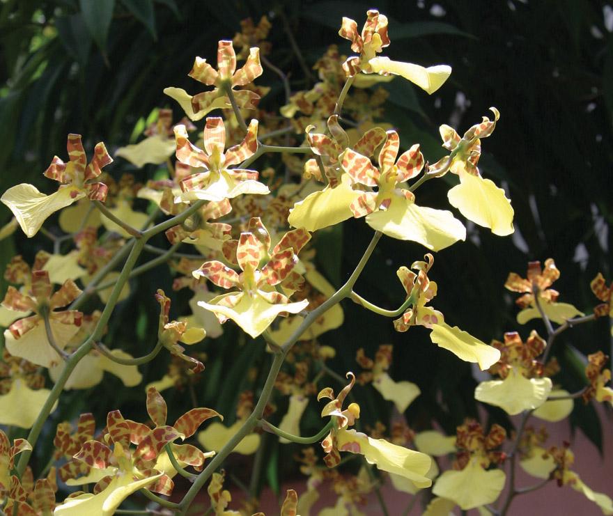 A photo of an oncidium orchid