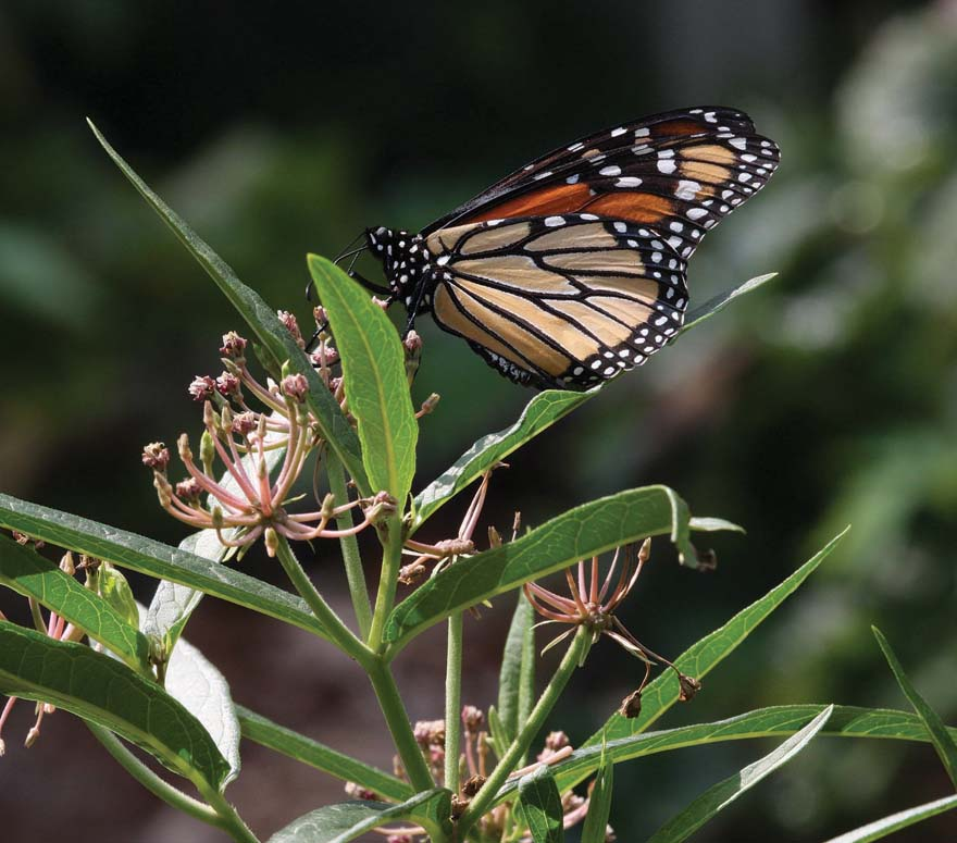 A monarch on milkweed