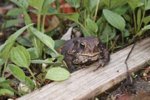 An american toad in a native garden