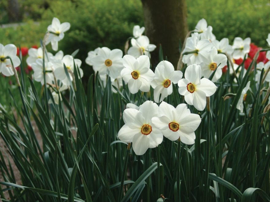 A photo of Narcissus 'Actaea'