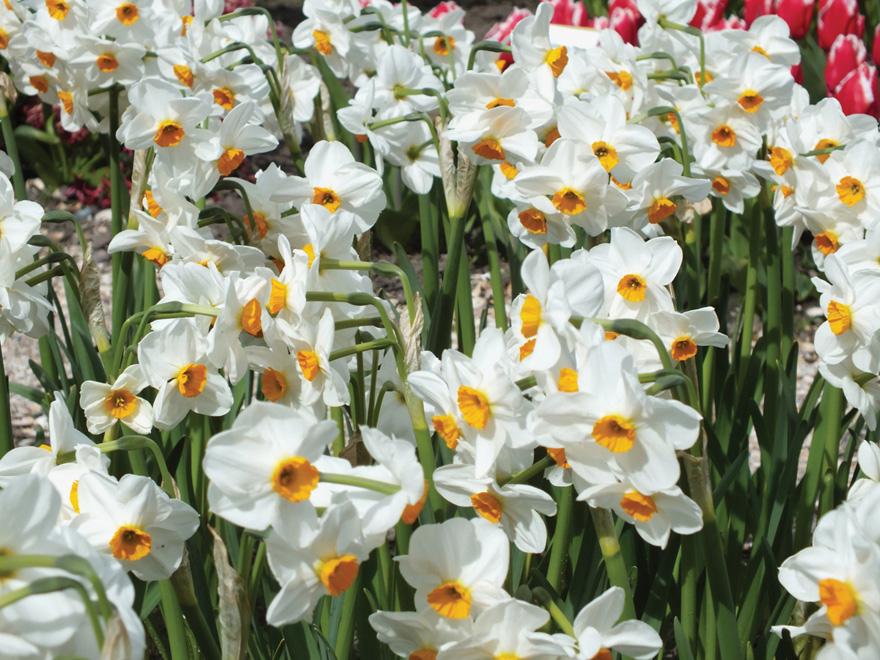 A photo of Narcissus 'Geranium'