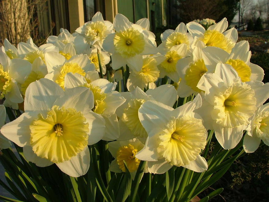 a photo of Narcissus 'Ice Follies'