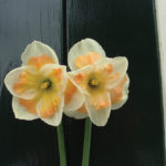 A photo of Narcissus 'Pink Wonder'