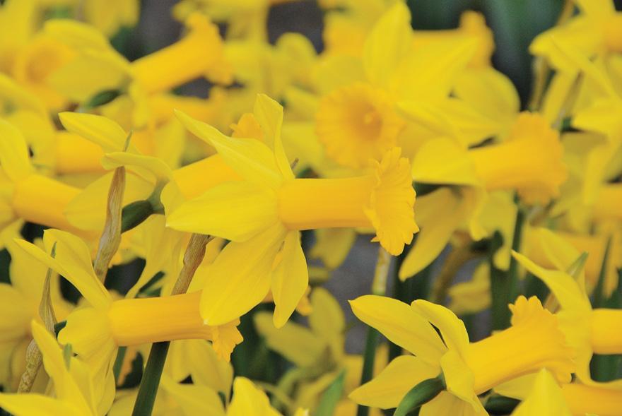 A photo of Narcissus 'Tweety Bird'