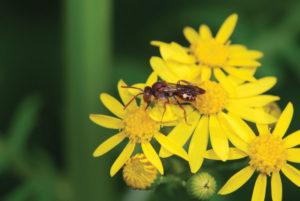 An image of the cuckoo bee on Packara obovata.