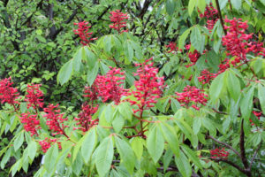 A photo of red buckeye in bloom