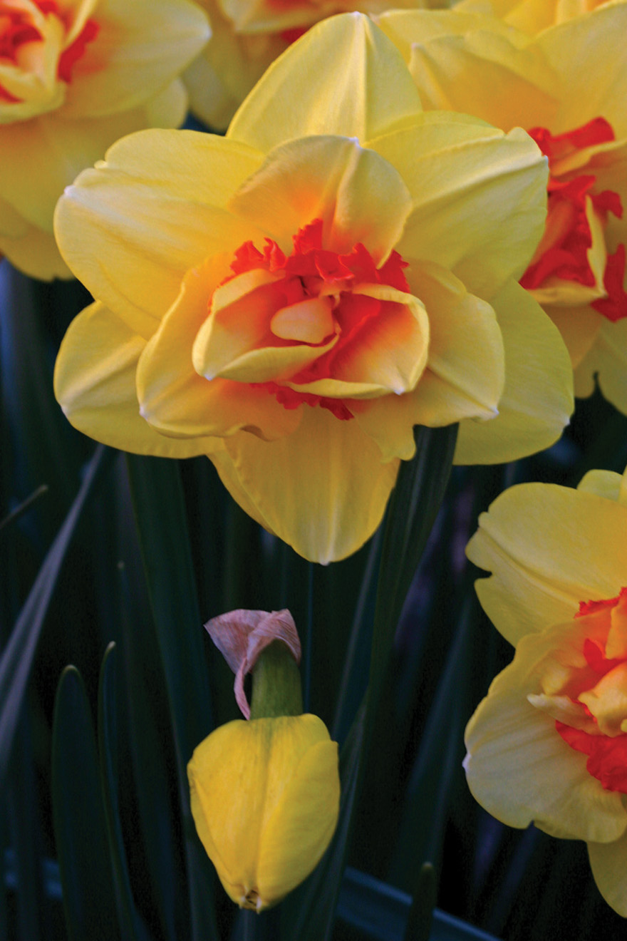 A photo of Narcissus 'Tahiti'