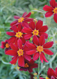 A picture of the red flowering Coreopsis 'Red Satin'.