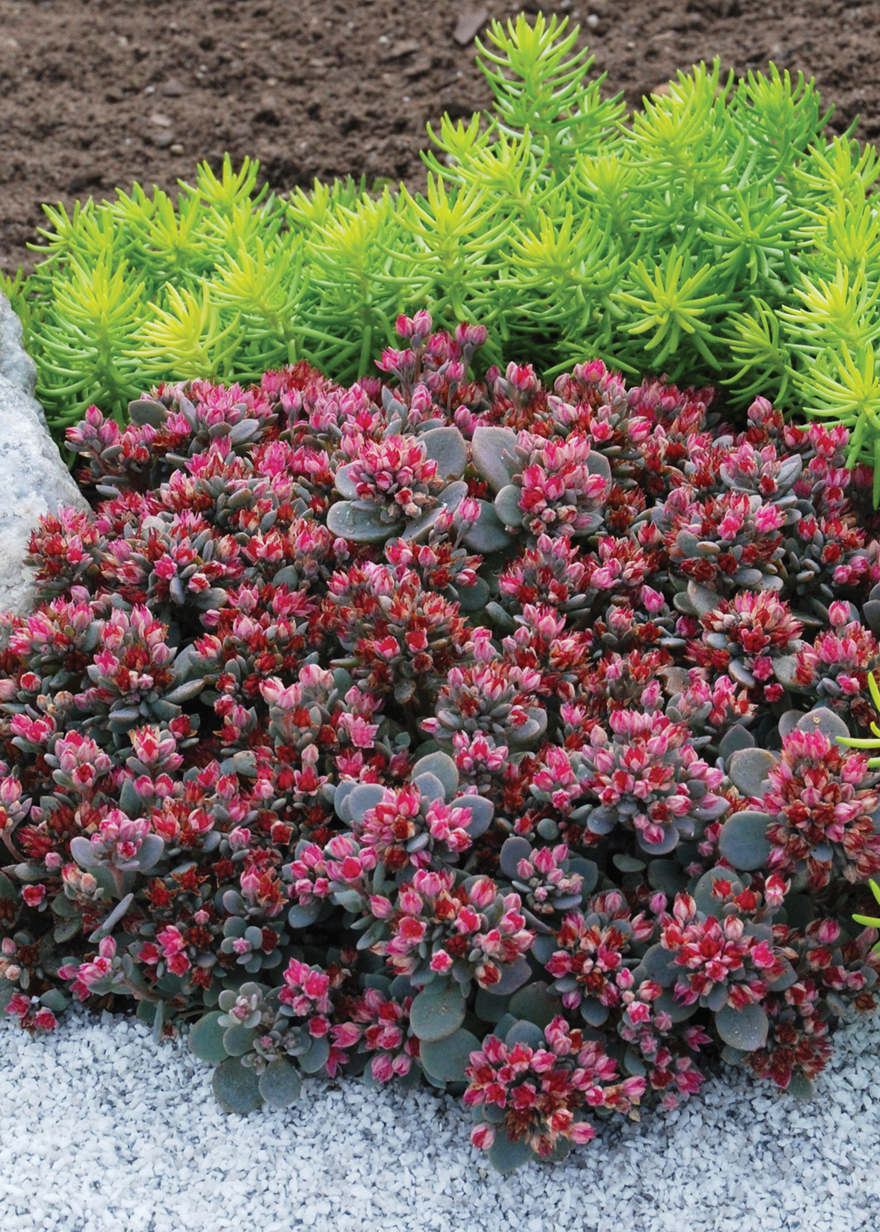 A picture of the succulent plant Sedoro 'Blue Elf'