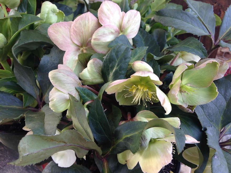 A picture of a Lenten rose, hellebore