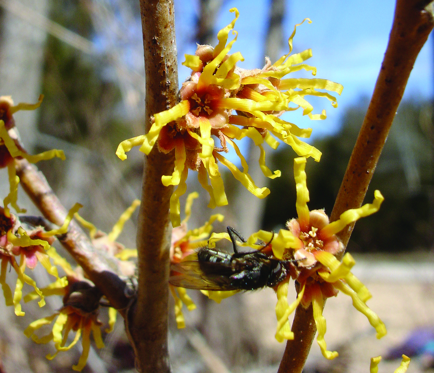A photo of a fly pollinating witchhazel.