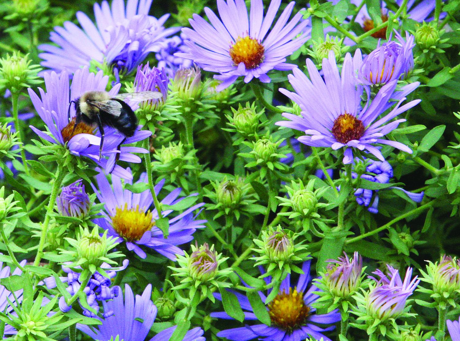 A photo of a bee on an aster flower.