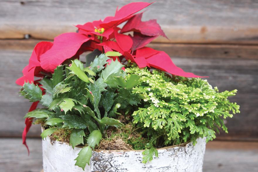 A photo of a dish garden with poinsettia.