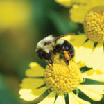 A photo of Bumble Bee, Bombus impatiens, by Ed Spevak
