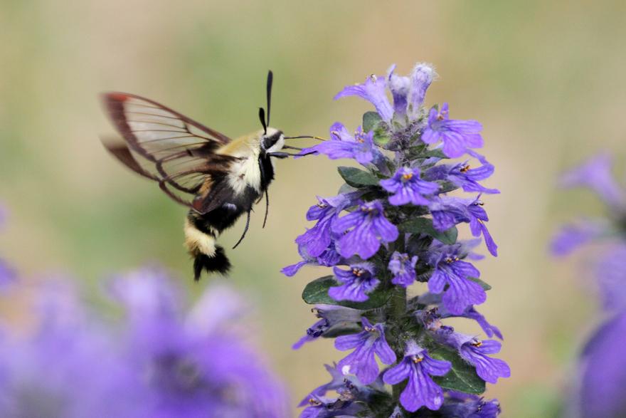 A photo of a nectar moth, by Ken Slade