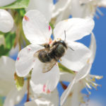 A photo of Blue orchard bee, a cavity -nesting bee, photo by Ed Spevak