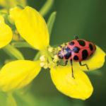 A photo of Pink ladybird beetle, photo by Monique von Someren.