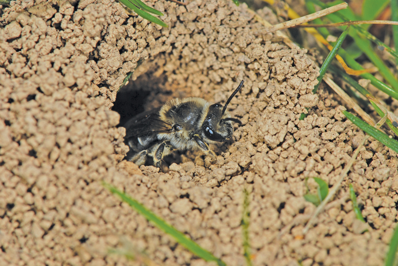 A photo of a ground nesting bee by Ed Spevak