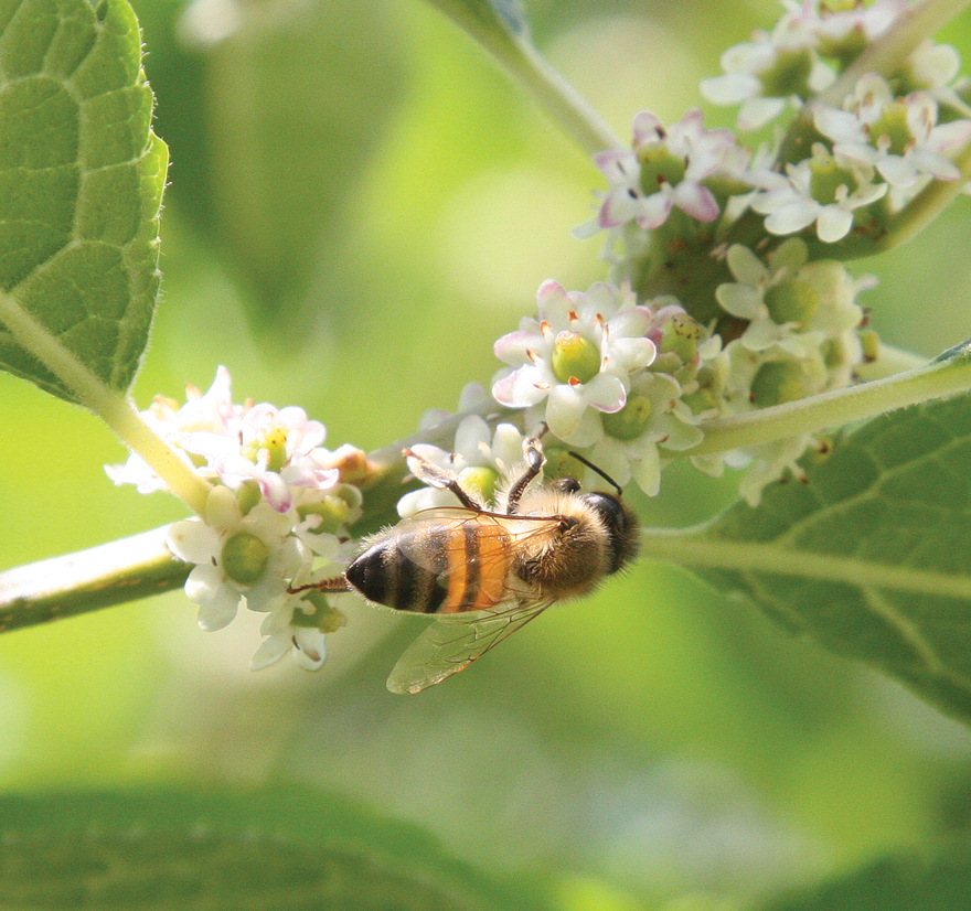 A photo of a honeybee on winterberry blossoms, photo by Robert Weaver