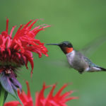 A photo of a ruby-throated hummingbird, by Larry Master