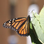 A picture of a monarch butterfly