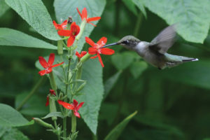 An image of a hummingbird visiting royal catchfly
