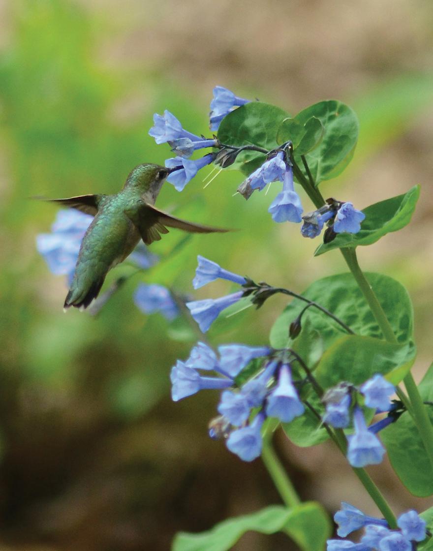 A photo of a hummingbird visiting a Virginia bluebell