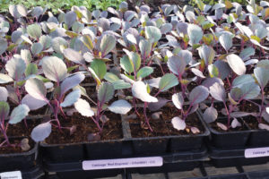 A photo of red cabbage seedlings.