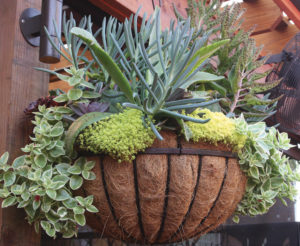 A succulent hanging basket at Billy G's restaurant in 2017