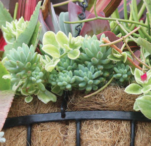 A photo of the succulent plant Donkey Tail.