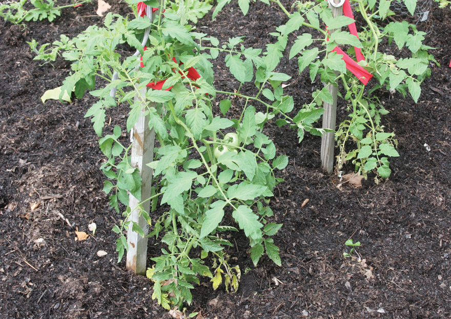 A photo of tomato plants mulched by composted yard waste.
